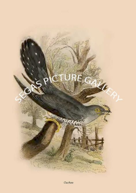 Fine art print of the Cuckoo by R Bowdler Sharpe (1896)
